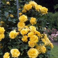 Casino rose saplings, Article of UT000004073