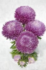 Семена цветов, Однолетник Астра Ювель, Артикул УТ000003475