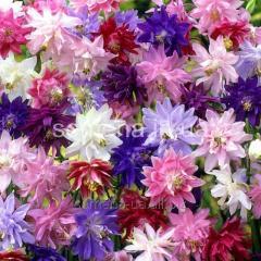 Akvilegiya Siyaniye flowers seeds terry mix,