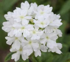 Flowers seeds, Odnoletnik Verbena hybrid F1