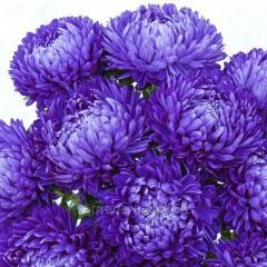 Семена цветов, Однолетник Астра Леди Корал, Артикул УТ000003398