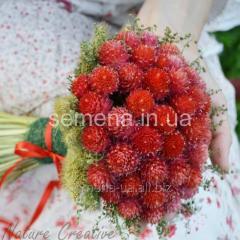 Flowers seeds, Odnoletnik Gomfrena Strawberry