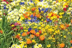 Seeds of flower mixes of the Series Elite Refined
