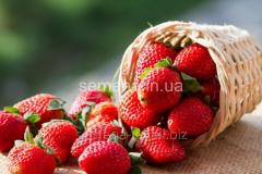 Saplings of wild strawberry and strawberry