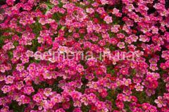 Flowers seeds, Kamnelomk's Perennial Purple