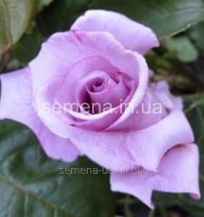 Саженцы розы Ромеи и Джульетта, Артикул