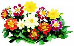Flowers seeds, One-year Dahlia Harlequin of F1,
