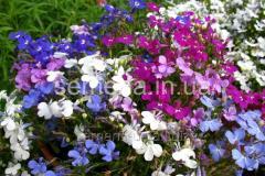 Flowers seeds, Odnoletnik Lobelia ampelous