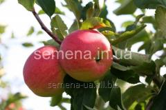 Saplings of fruit-trees Aydared, Article of