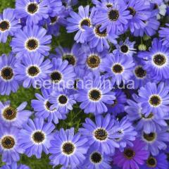 Flowers seeds, Odnoletnik Brakhikoma Blue spark,