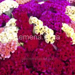 Flowers seeds, Odnoletnik Tseloziya Coral garden,
