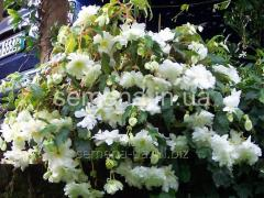 Flowers seeds Begonia (spring collection) of Vayt,
