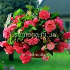 Flowers seeds Begonia (spring collection) Pink,