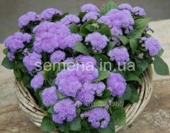 Flowers seeds, Odnoletnik Ageratum Alokha of F1,