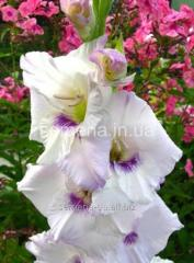 Flowers seeds Gladiolus (spring collection) Home