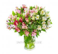 Alstremeriya flowers seeds Peruvian beauty,