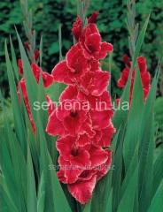Flowers seeds Gladiolus (spring collection) After