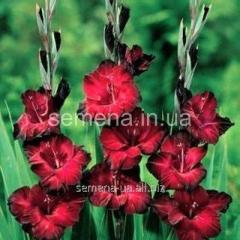 Flowers seeds Gladiolus (spring collection) of Bel