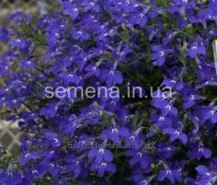 Flowers seeds, Odnoletnik Lobelia Regatta, Article