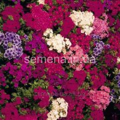 Flowers seeds, Odnoletnik Floks Etni, Article 5240