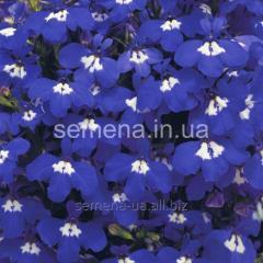 Flowers seeds, Odnoletnik Lobelia Rivyera, Article