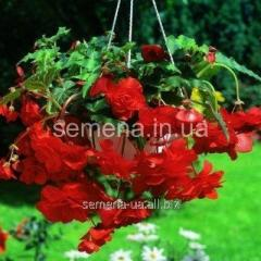 Flowers seeds Begonia (spring collection) Red,