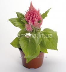 Flowers seeds, Odnoletnik Tseloziyaglorius,
