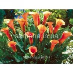 Flowers seeds Calla (spring collection) Mozart,
