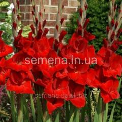 Flowers seeds Gladiolus (spring collection) Oscar,