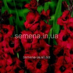 Flowers seeds Gladiolus (spring collection) Plam
