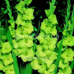 Flowers seeds Gladiolus (spring collection) Greene