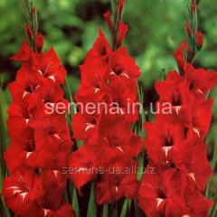 Flowers seeds Gladiolus (spring collection)