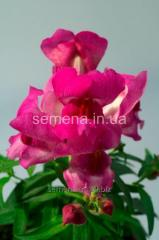 Flowers seeds Lion's pharynx (Antirrinum) of
