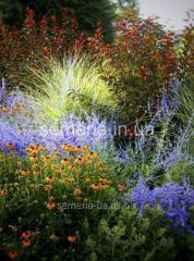 Flowers seeds, Perovskiya Tayga's Perennial,