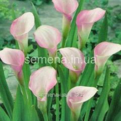 Flowers seeds Calla (spring collection) of Cristal