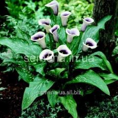 Flowers seeds Calla (spring collection) of