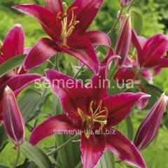 Flowers seeds Lilia (vesennyaya colection)