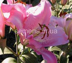 Flowers seeds Lilia (vesennyaya kolektion)