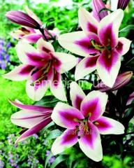 Flowers seeds Lilia (spring collection) Altars,