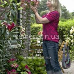 Flowers seeds Lilia (spring collection) It