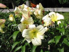 Flowers seeds Lilia (spring collection) Bugi Vugi,