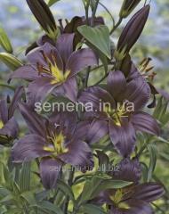 Flowers seeds Lilia (vesennyaya kolektion) Perpl