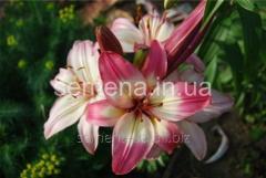 Flowers seeds Lilia (vesennyaya kolektion) Levi,