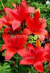 Семена цветов Лилия (весенняя колекция) Прунотто,