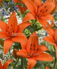 Flowers seeds Lilia (spring collection) Oranzh