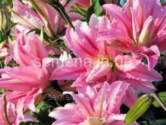 Flowers seeds Lilia (spring collection) Brocken