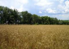 Forege grain