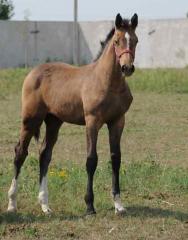 Молодые лошади продажа Украина, Лошади