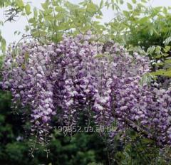 Issai Perfect wistaria