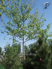 A nyárfa palánták
